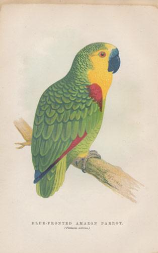 Blue Fronted Amazon Parrot Antique Parrot Print