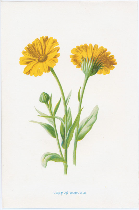 Group Of Golden Yellow Flowers Antique Prints