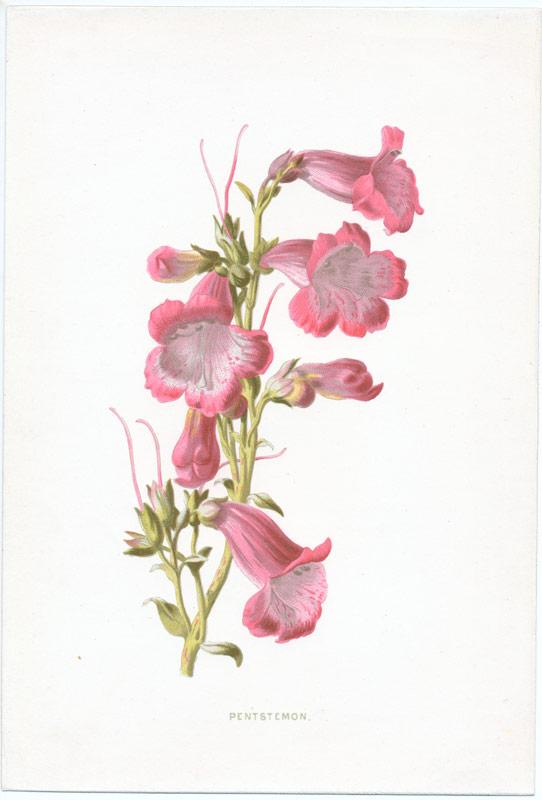 Pink Garden Flowers Set Of 4 Antique Prints