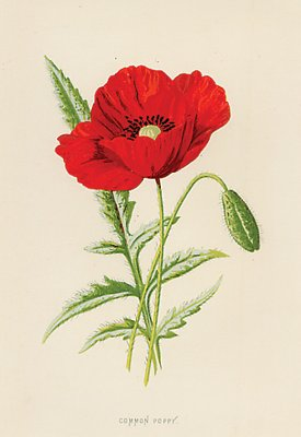 Antique Print Of A Poppy Circa 1890
