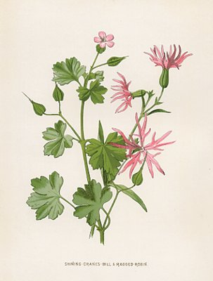 Set Of Four Pink Flowers Genuine Victorian Botanical