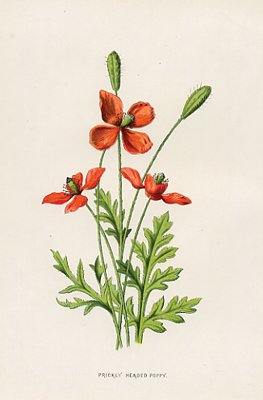 Prickly Headed Poppy Original Victorian Flower Illustration
