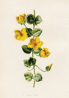 Set Of 4 Yellow Flowers Antique Prints Circa 1890