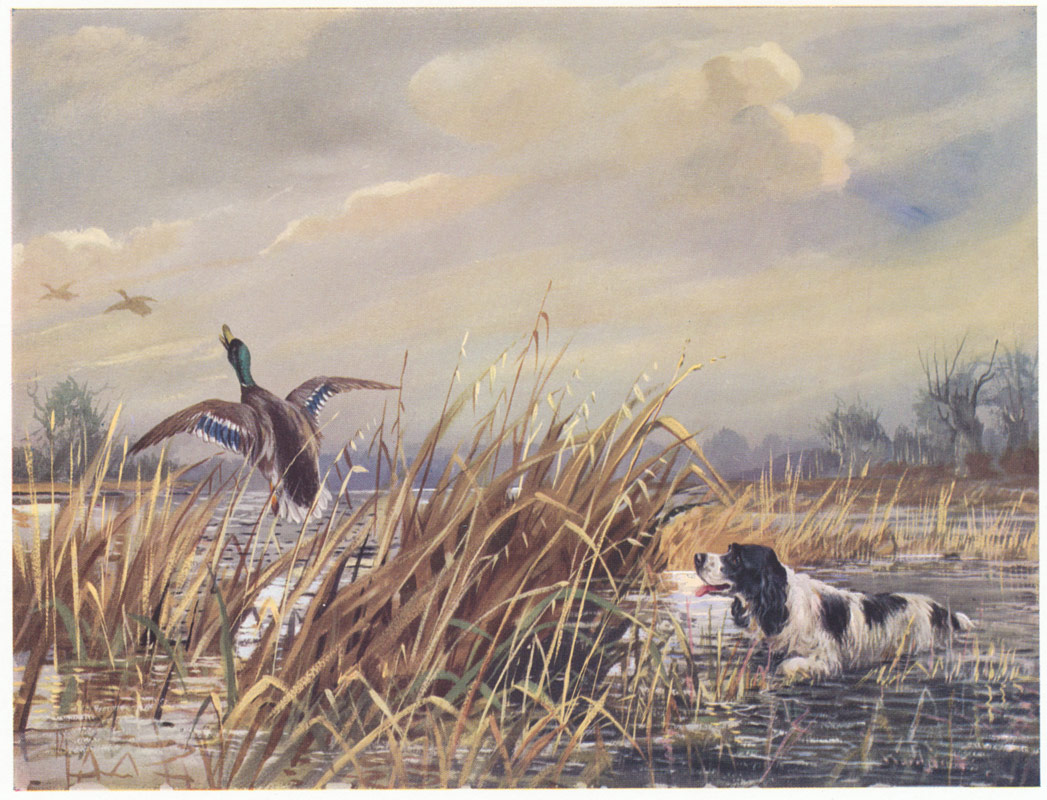 Antique Print Of A Springer Spaniel Hunting In Marshland