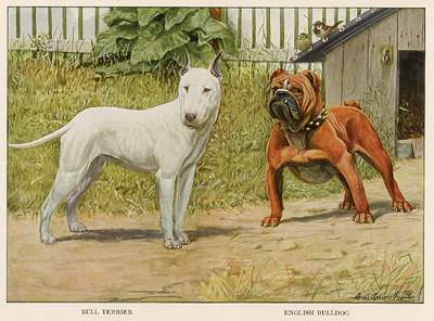 Antique Print of a Bull Terrier with English Bull Dog