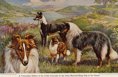 Antique Prints And Pictures Of The Collie