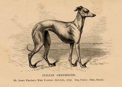 Italian Antiques on Italian Greyhound  Antique Dog Print  Circa 1890