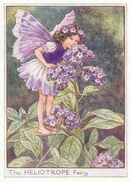 Heliotrope Flower Fairy Print Heliotrope Fairy
